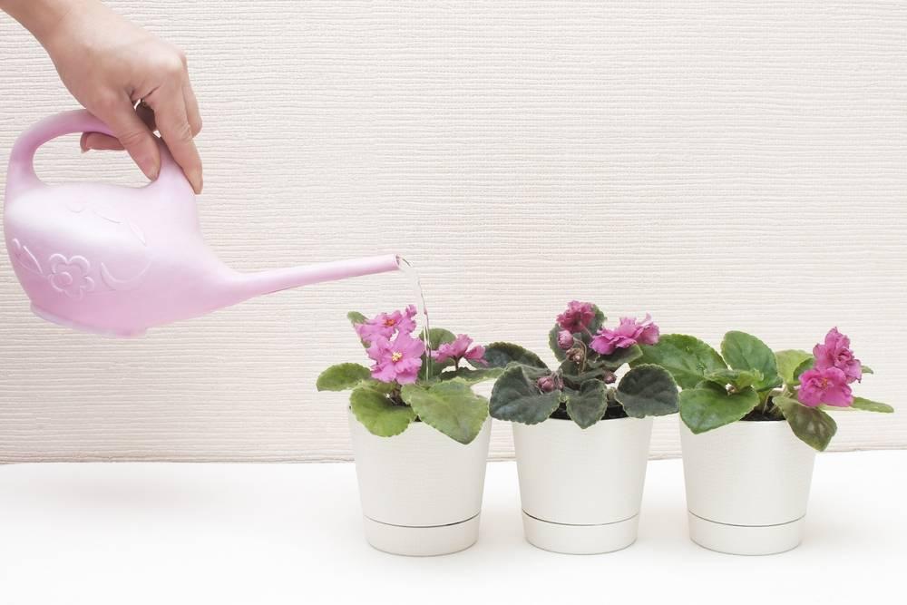 Как правильно и когда поливать фиалки после пересадки?