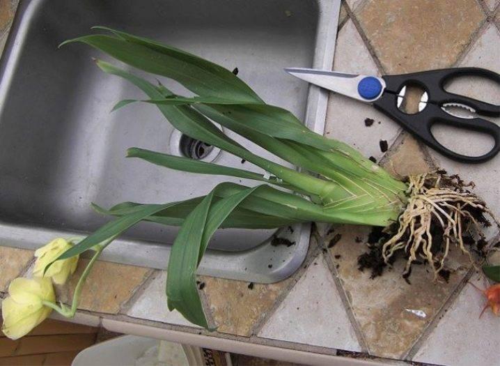 Звёдочка на подоконнике – орхидея камбрия