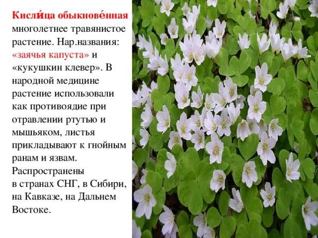 Кислица обыкновенная - описание лекарственного растения