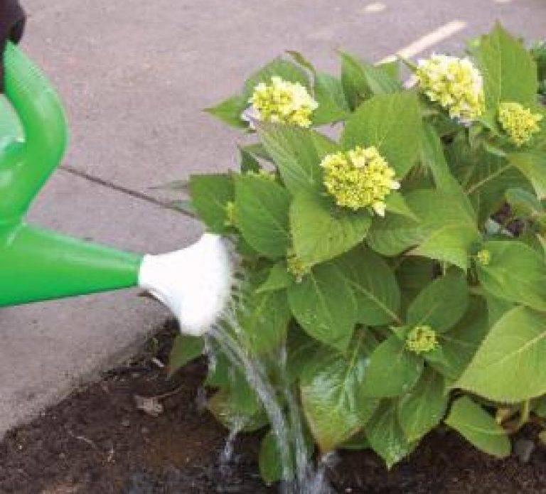 Как и когда цветет гортензия?