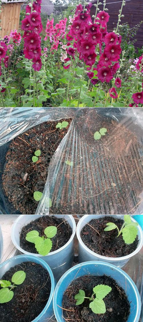 Мальва многолетняя: посадка и уход в открытом грунте. выращивание мальвы многолетней