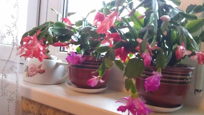 Как пересадить алоэ: варианты в другой горшок и примеры в домашних условиях