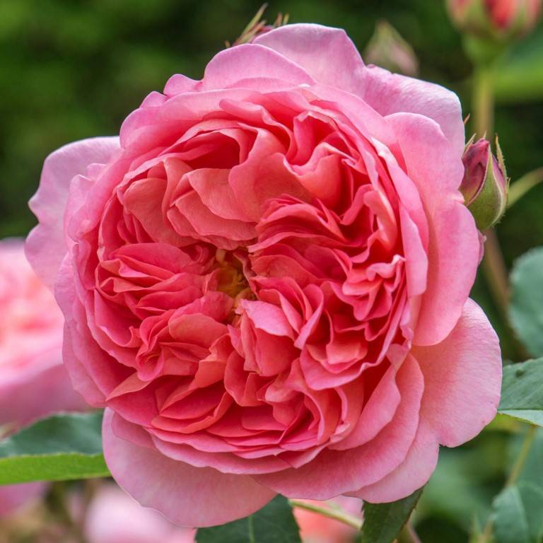 Роза индиголетта (indigoletta)