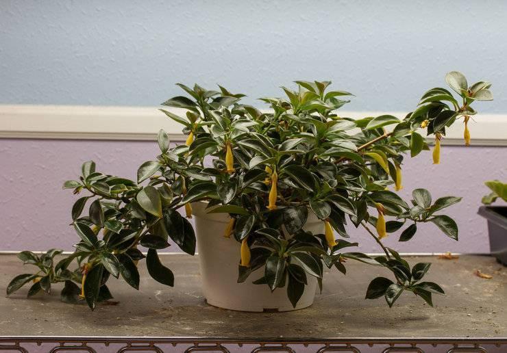 Гипоцирта: фото, уход в домашних условиях и при посадке в открытый грунт, болезни и вредители нематантуса и как ухаживать за цветком зимой?