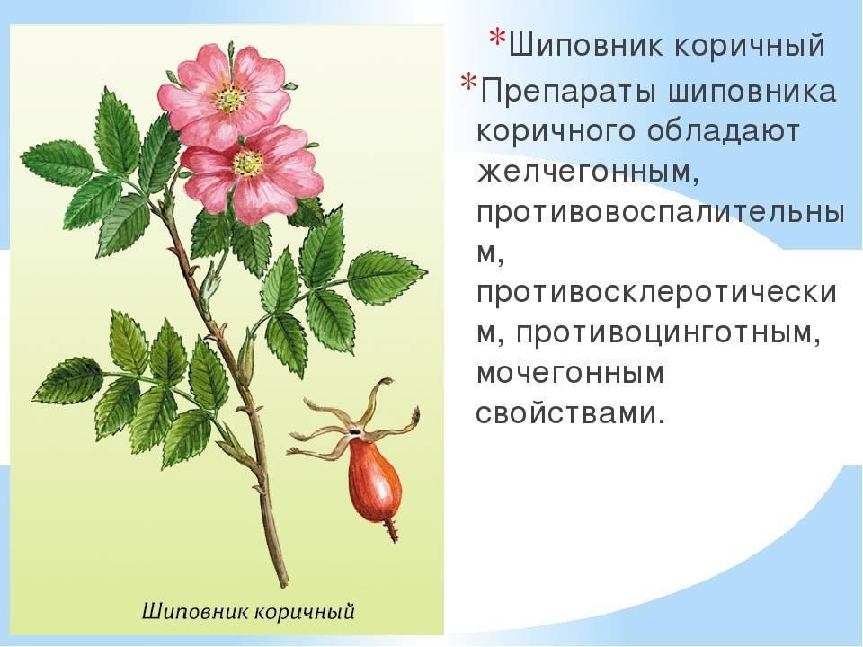 Как отличить розу от шиповника