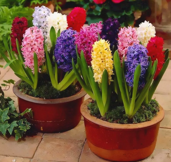 Гиацинт — цветок дождя