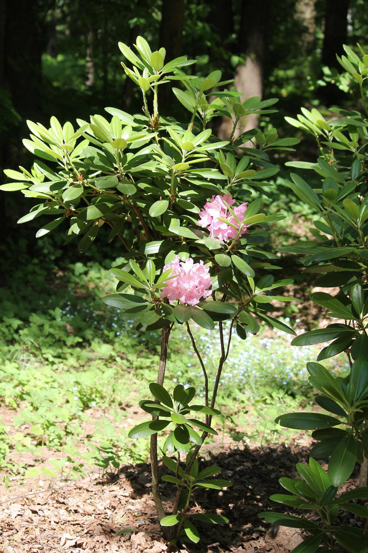 Описание особенностей и правил выращивания уличного рододендрона хеллики