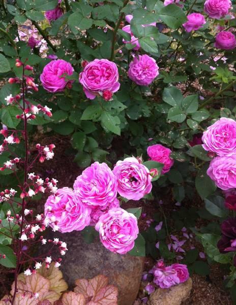 Бурбонские розы — предвестники современных сортов