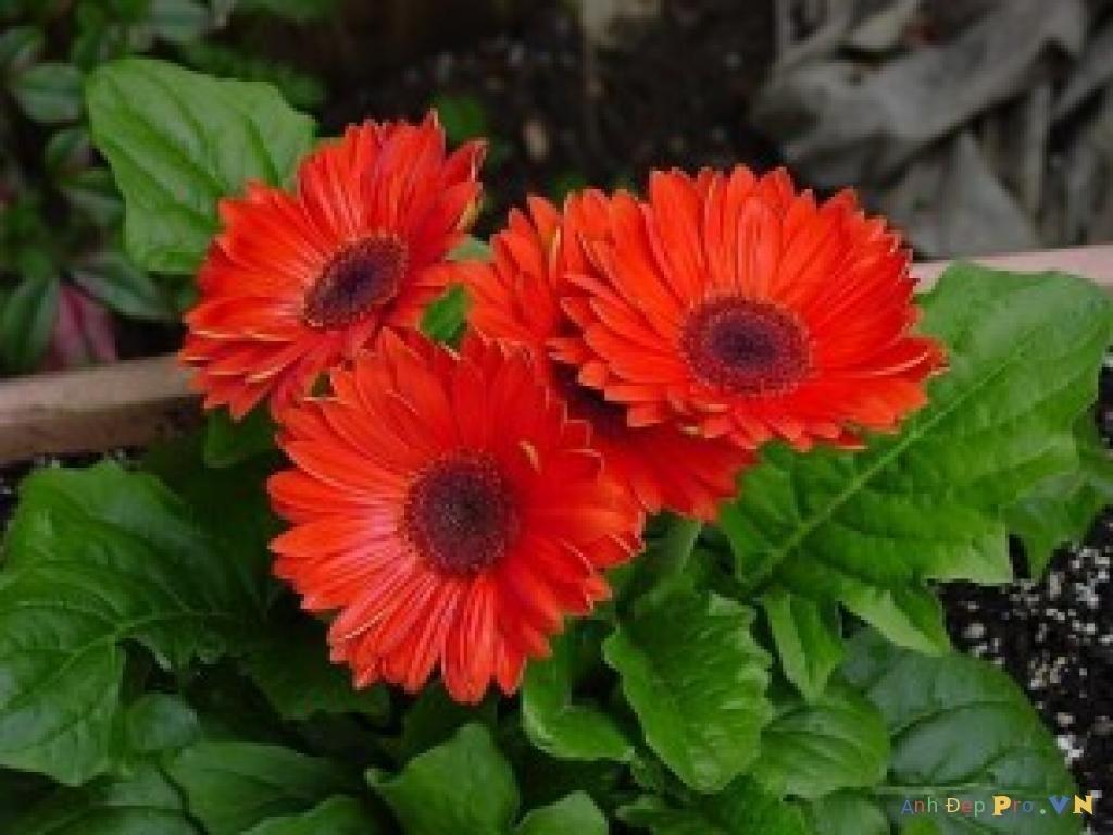 Домашний цветок гербера комнатная — уход в домашних условиях