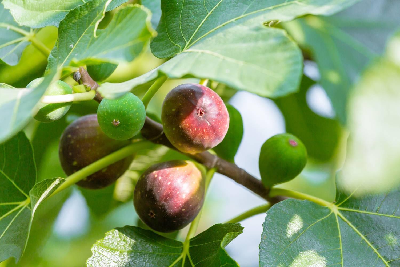 Фиговое дерево: уход и выращивание. смоковница обыкновенная