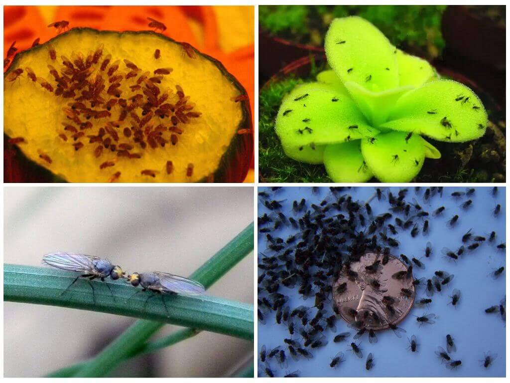 Мошки в цветах комнатных — как избавиться в домашних условиях - pocvetam.ru