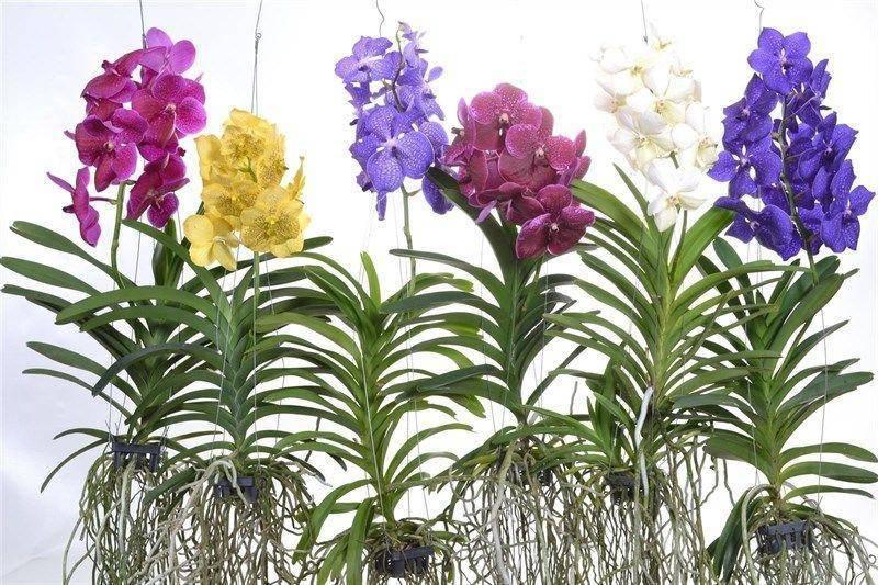 Орхидея ванда: основные сорта и варианты ухода в домашних условиях