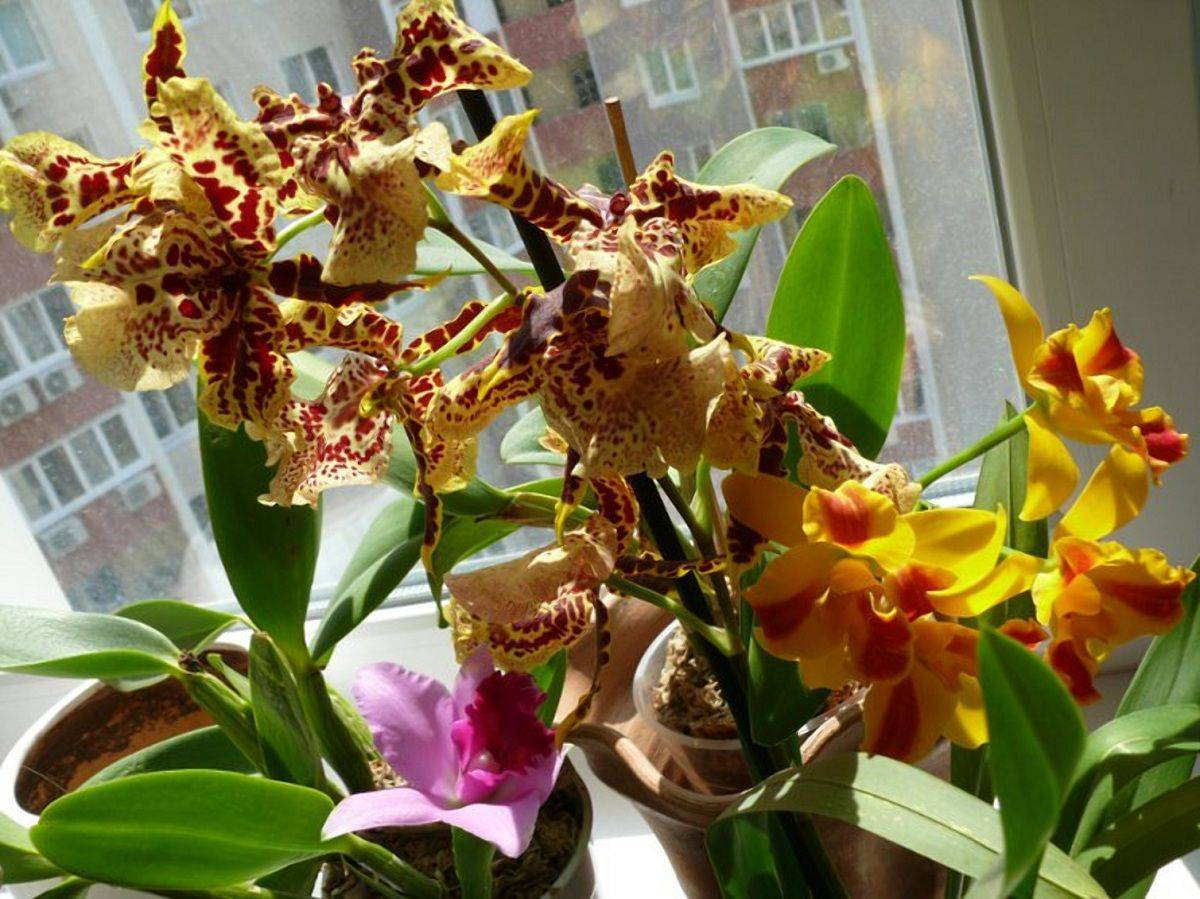Орхидея онцидиум - уход в домашних условиях