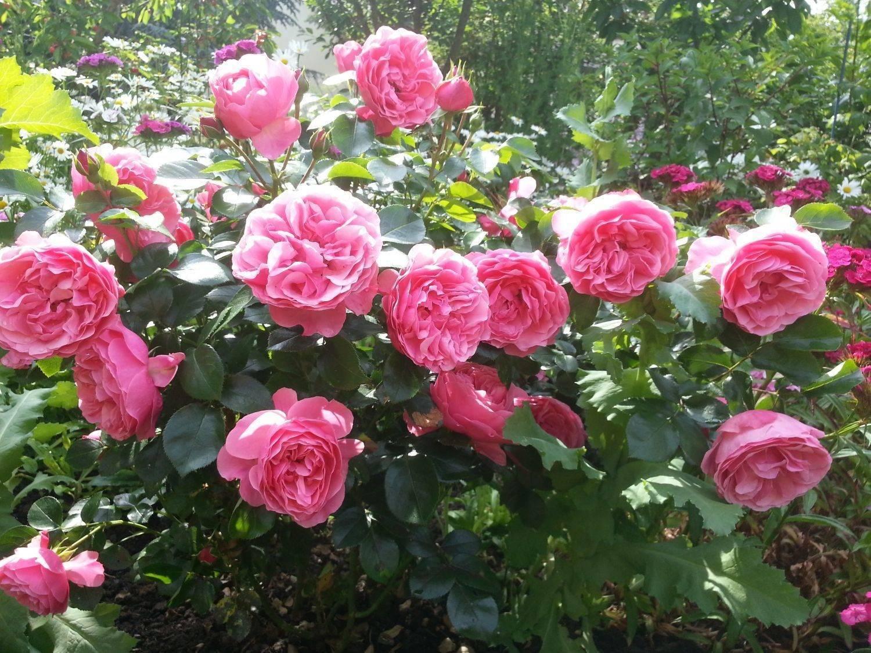 Роза флорибунда болеро: описание сорта, фото, уход | о розе