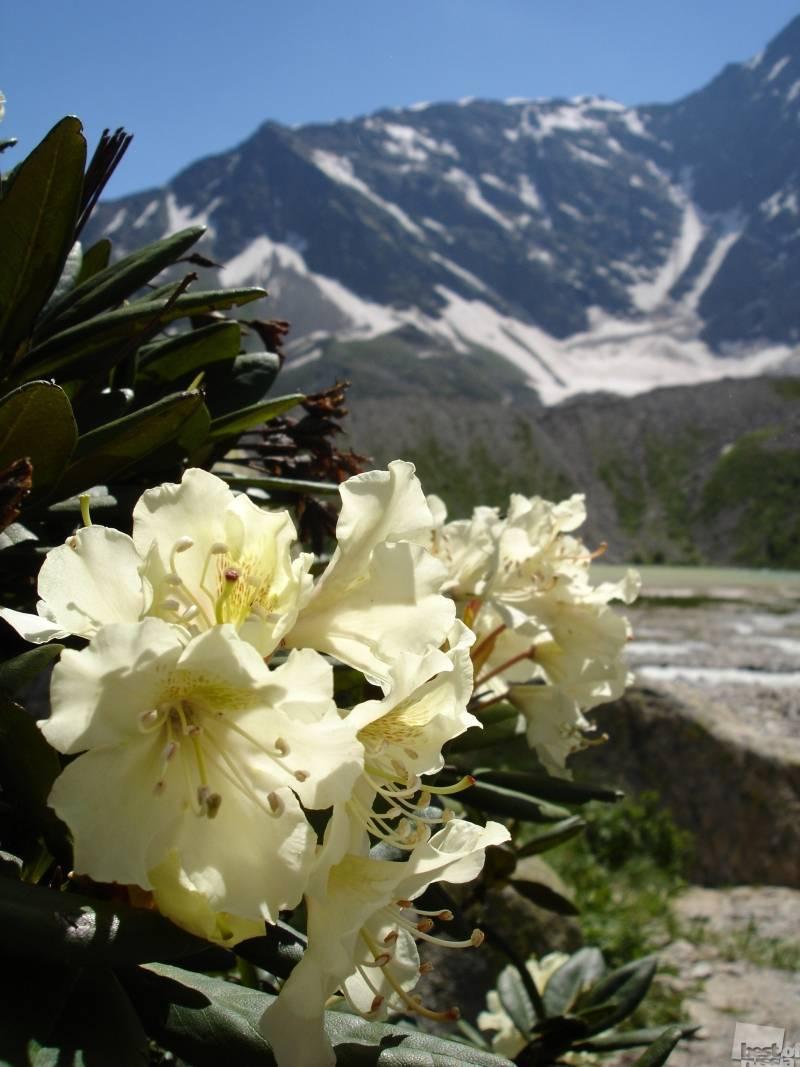 Рододендрон кавказский в горах: когда цветет
