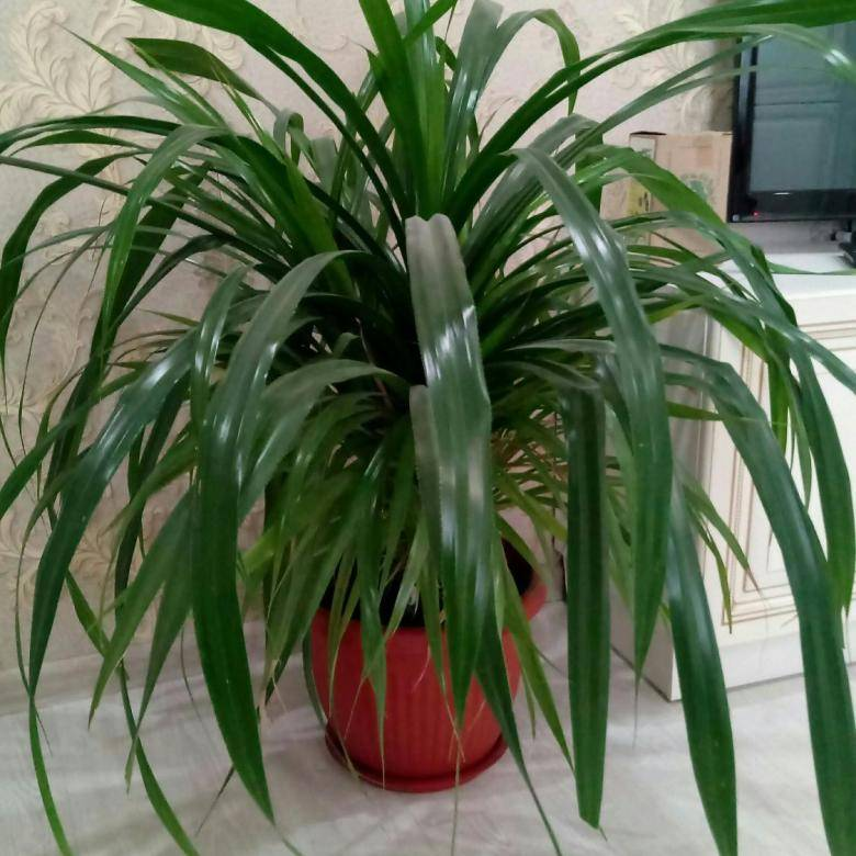 Панданус — цветок винтовая пальма в домашних условиях