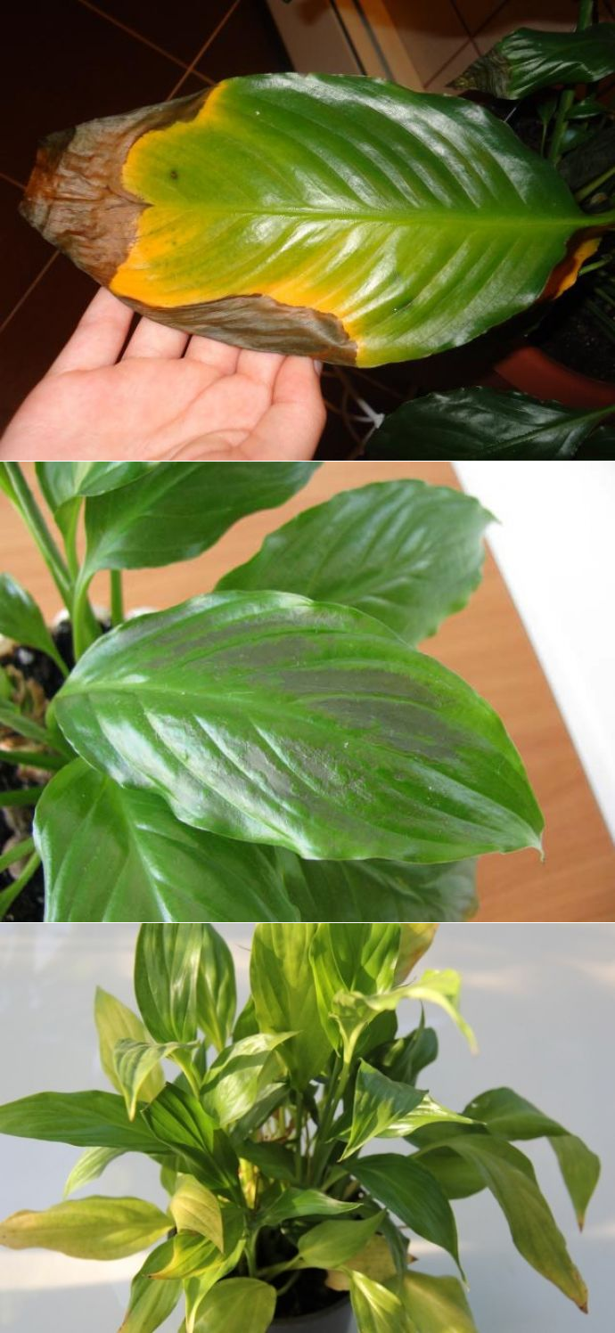 Почему у спатифиллума концы листьев сохнут и чернеют