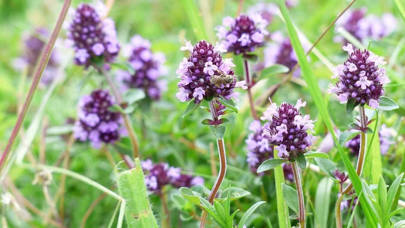 Вербена гибридная: выращивание из семян, сорта, идеал