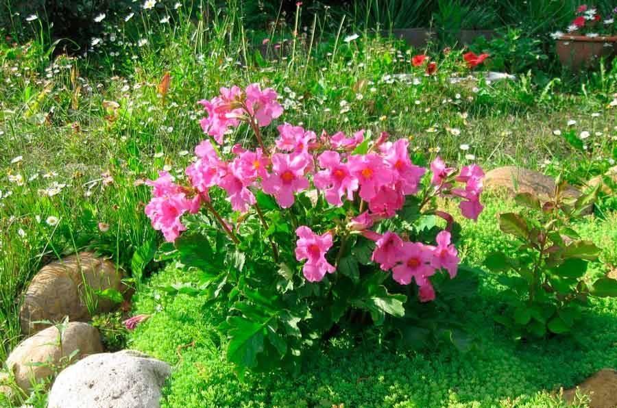 Цветок инкарвиллея посадка и уход в открытом грунте выращивание из семян фото видов - общая информация - 2020