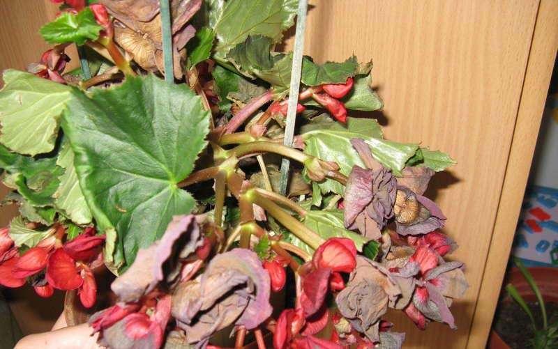Почему сохнут листья у комнатной бегонии и что с этим делать?