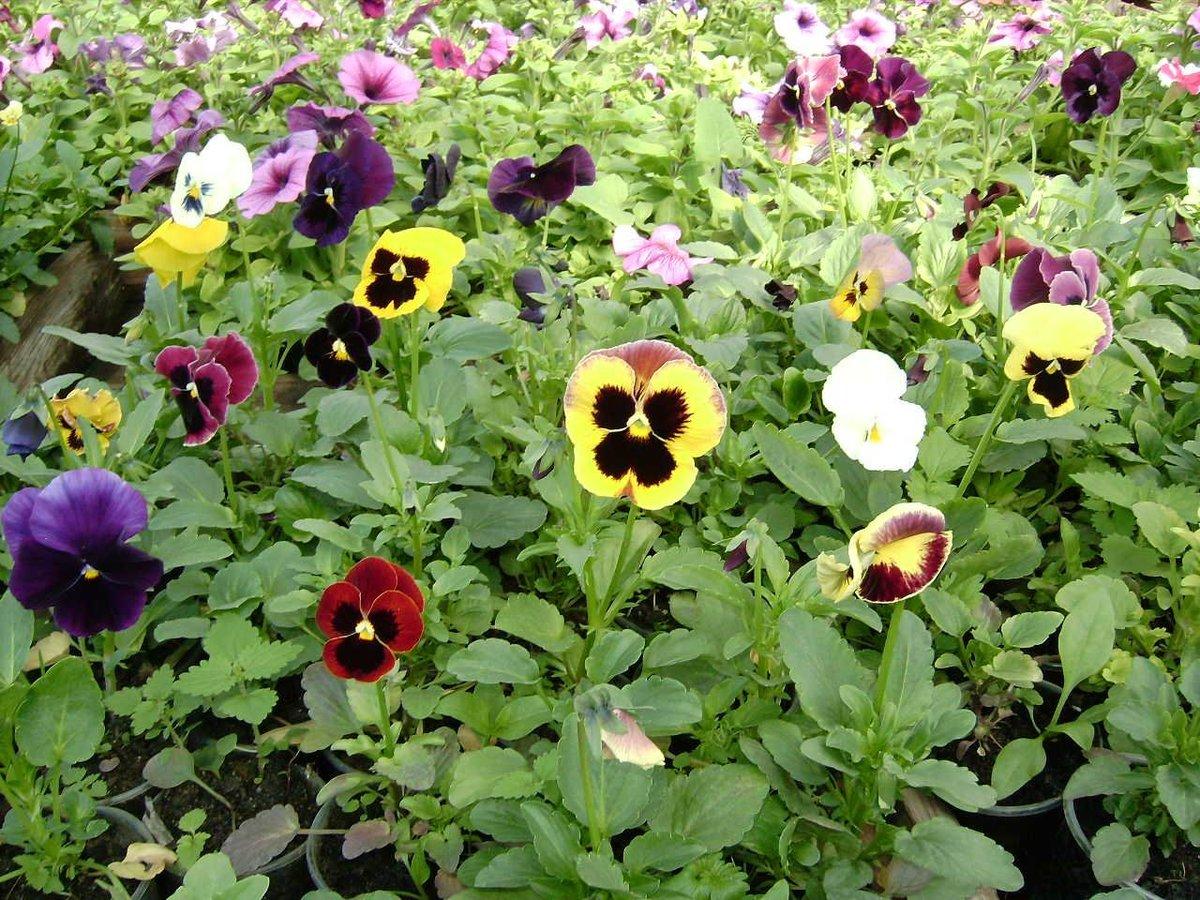 Виола виттрока (43 фото): описание фиалки и выращивание из семян. когда лучше сажать цветы на рассаду? сорта садовых анютиных глазок  «махровое кружево» и «грильяж»