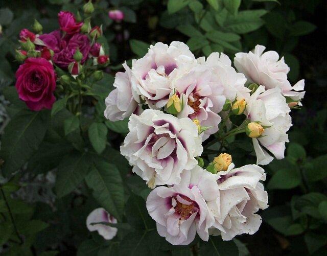 Характеристика и описание садовой розы сорта «боника 82»: фото и отзывы