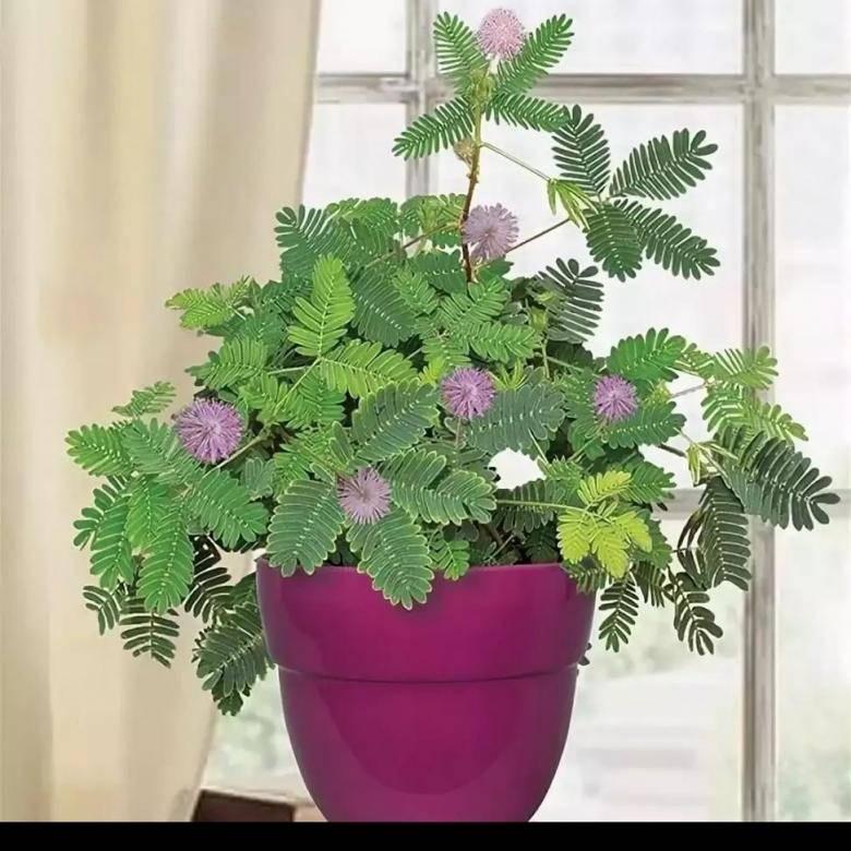Мимоза стыдливая (47 фото): уход за цветком в домашних условиях, выращивание из семян. как размножается комнатная mimosa pudica?