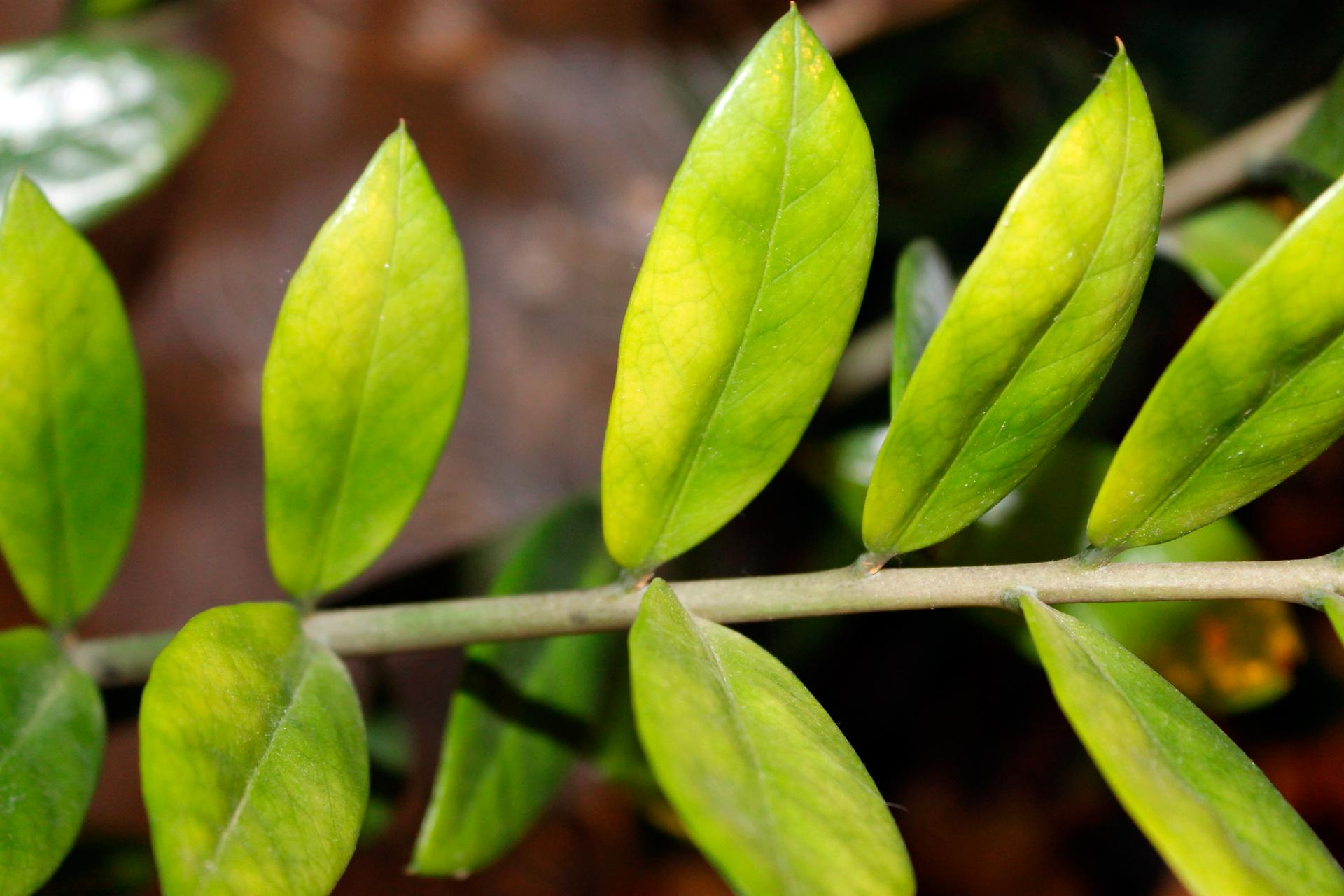 Флоксы почему желтеют нижние листья