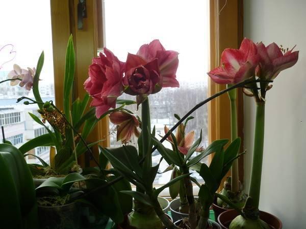 Гиппеаструм — сорта цветка, выращивание из семян, правила ухода в домашних условиях