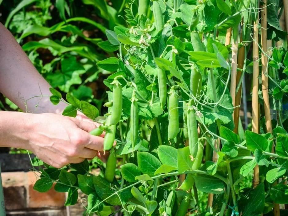 Выращивание гороха в открытом грунте или домашних условиях