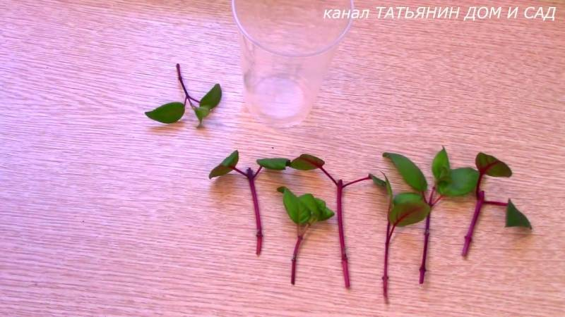 Мирт (myrtus) — выращивание, уход, размножение.