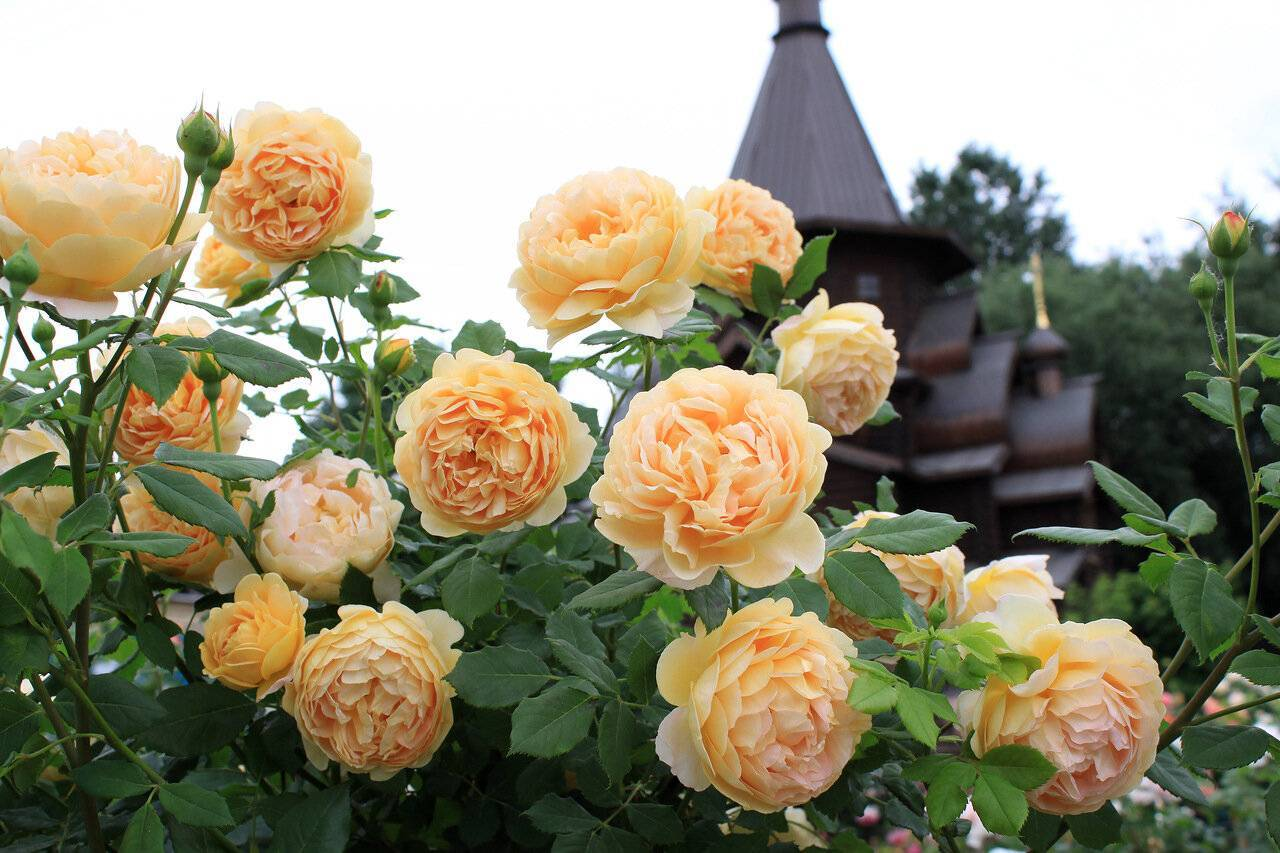 Роза чипендейл (chippendale) - описание, фото, агротехника | о розе