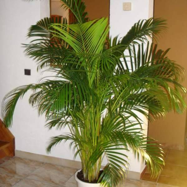 Пальма арека: фото и уход в домашних условиях