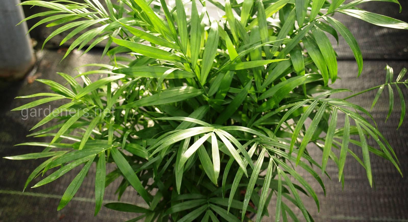 Пальма хамедорея посадка и уход в домашних условиях пересадка и размножение почему сохнет