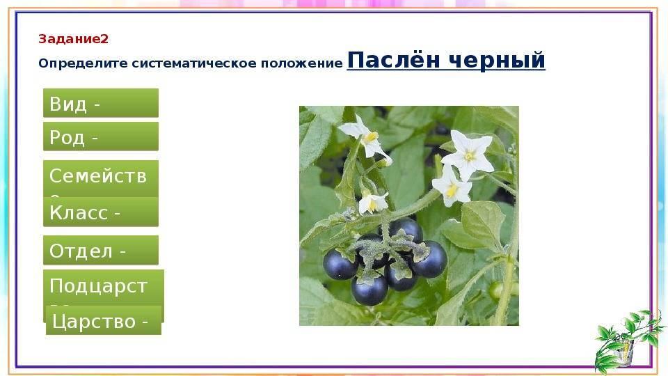 Семейство паслёновых – польза, а также список вредных растений