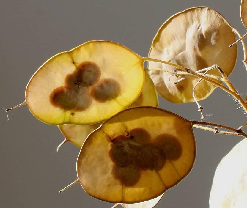 Выращивание лунника (lunaria annua): желтые, оживающие виды цветка