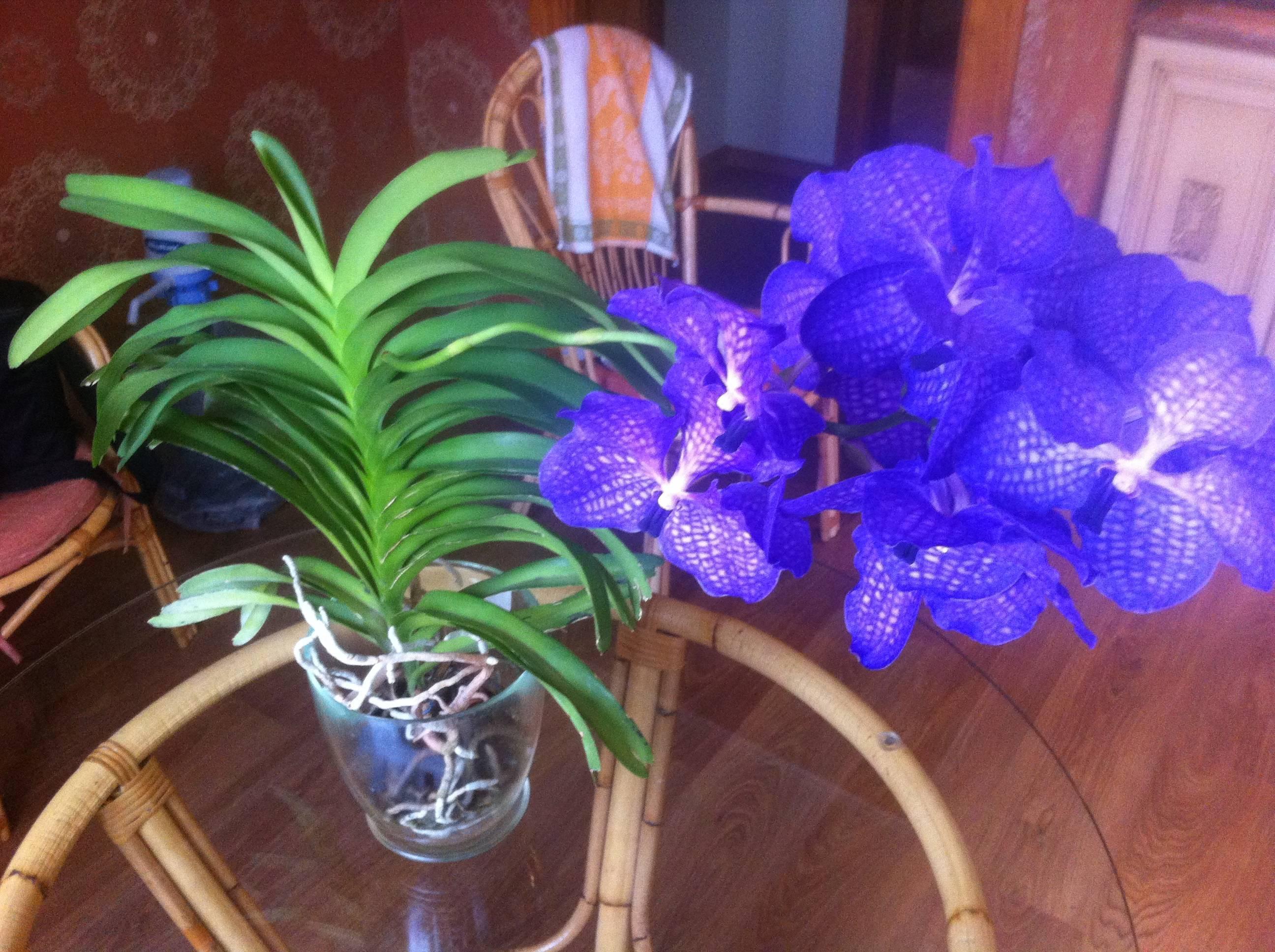 Выращивание и посадка синей орхидеи в домашних условиях: правила ухода, горшок, цветение