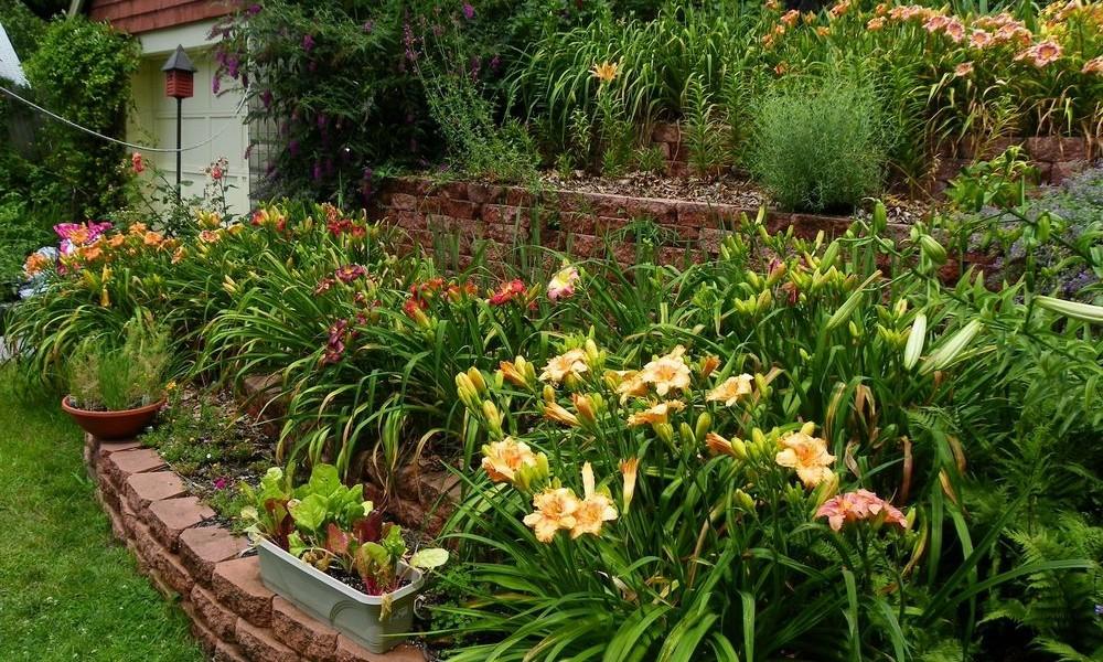 Почему не цветет лилейник и плохо растет