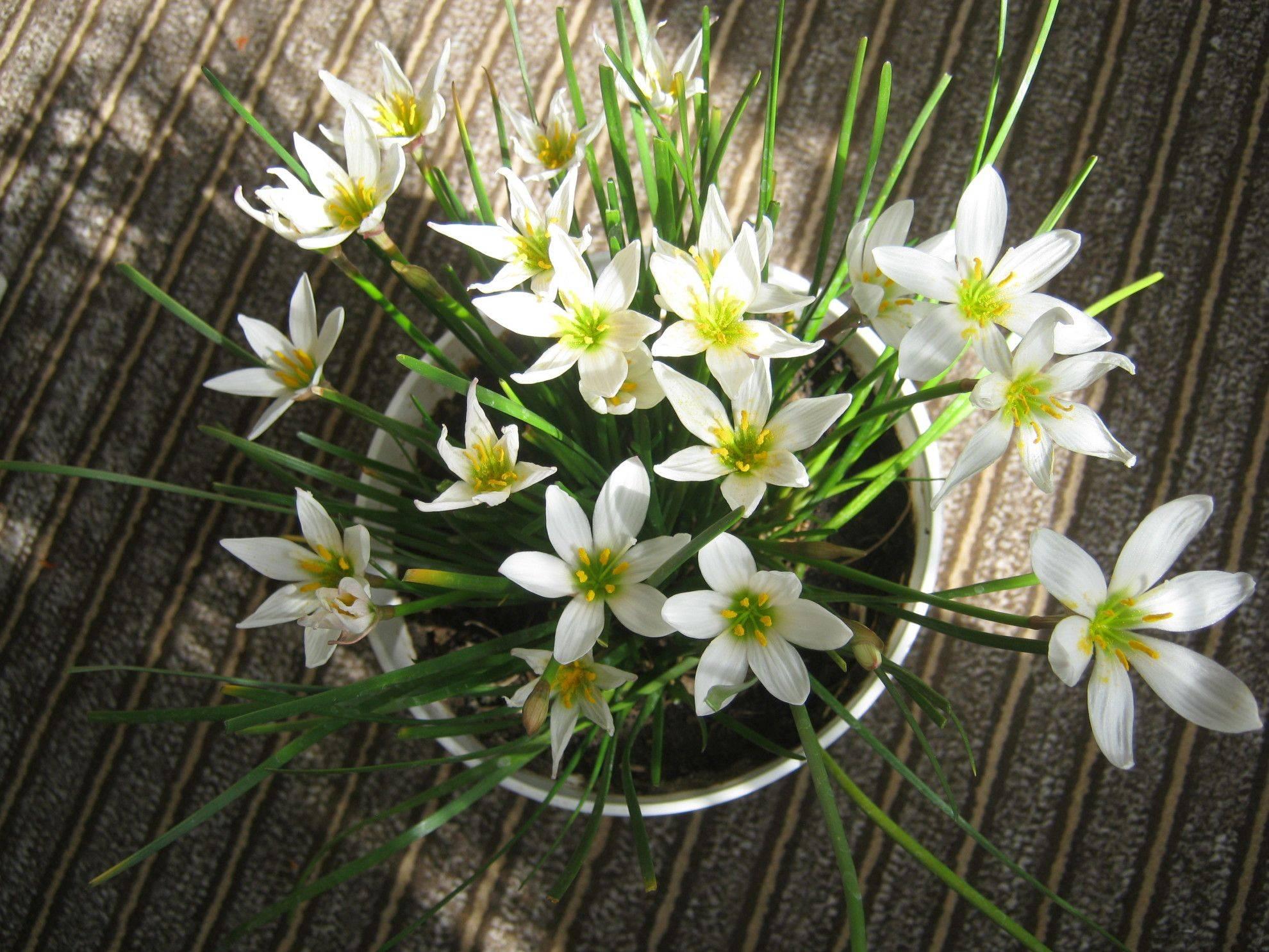 Зефирантес (zephyranthes) – уход, фото, виды