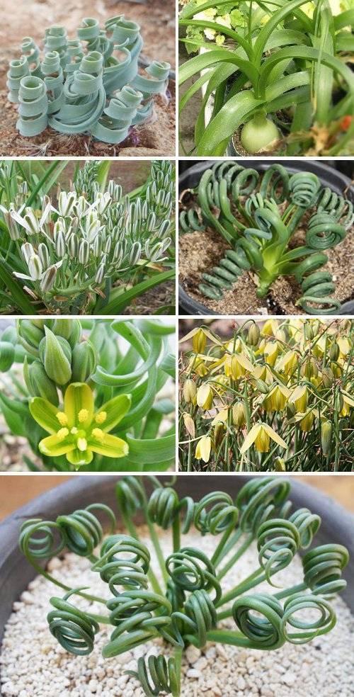 Суккулентное растение — альбука. описание и выращивание