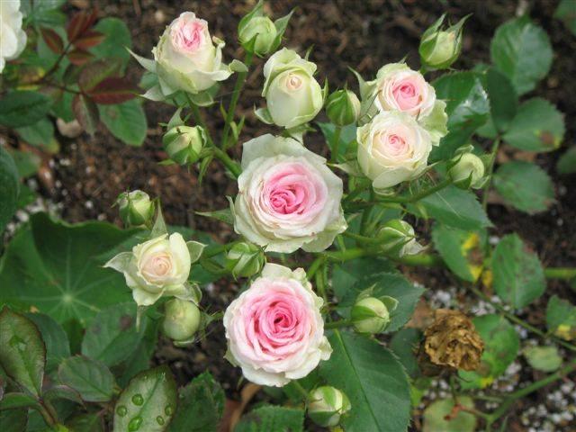 Описание почвопокровной розы мими эден: что это за миниатюрный спрей-цветок