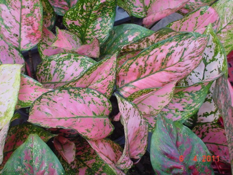 Аглаонема (63 фото): ядовитое ли растение или нет? уход за цветком в домашних условиях и размножение. почему у агаонемы желтеют листья?