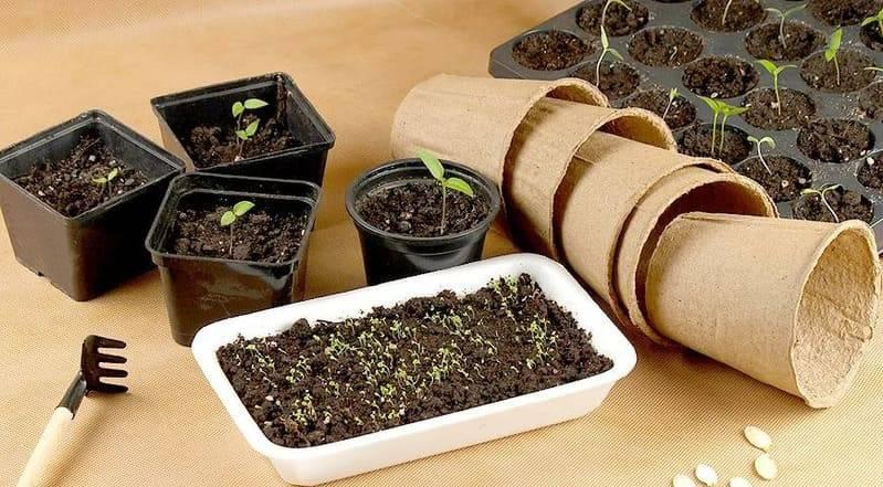 Как вырастить лаванду из семян в домашних условиях на рассаду — правильная посадка