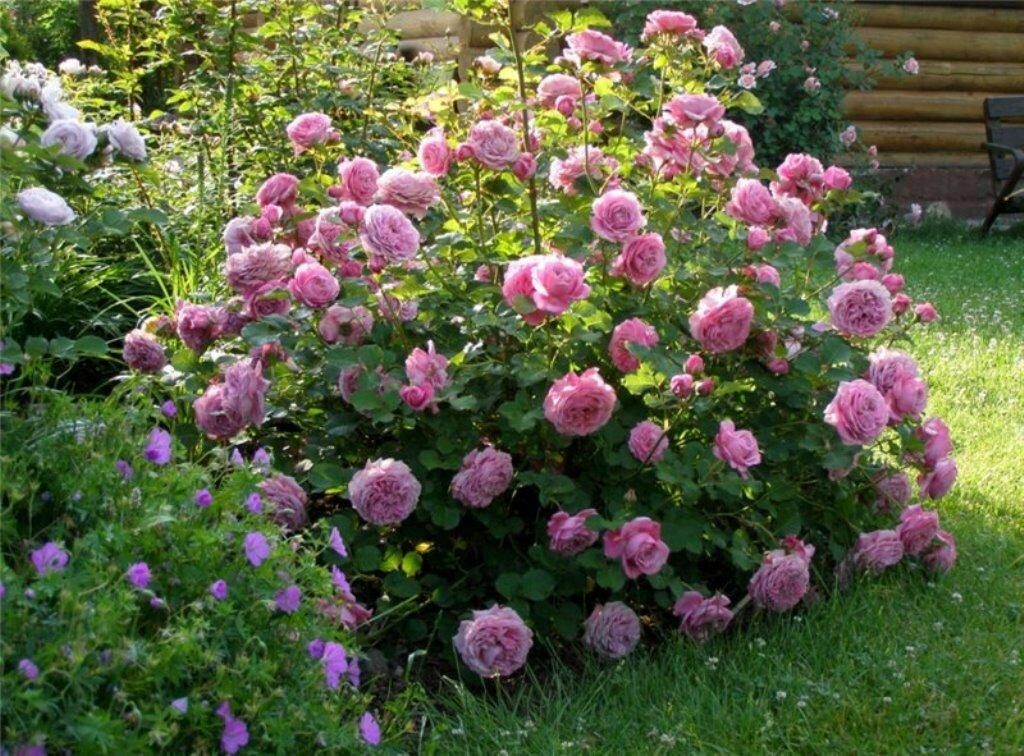 Чайно-гибридные розы: в чем их отличия