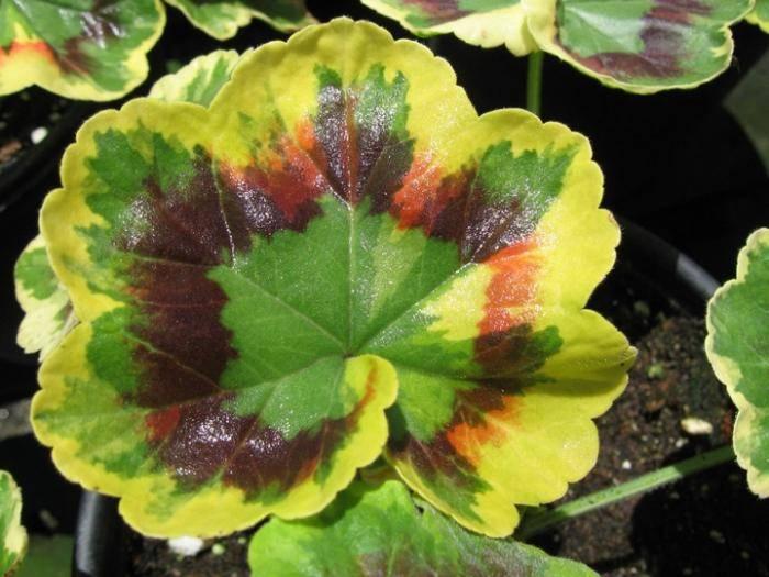 Болезни герани (19 фото): почему закручиваются листья вовнутрь? как бороться с белыми мошками? причины засыхания. как спасти цветок от вредителей?