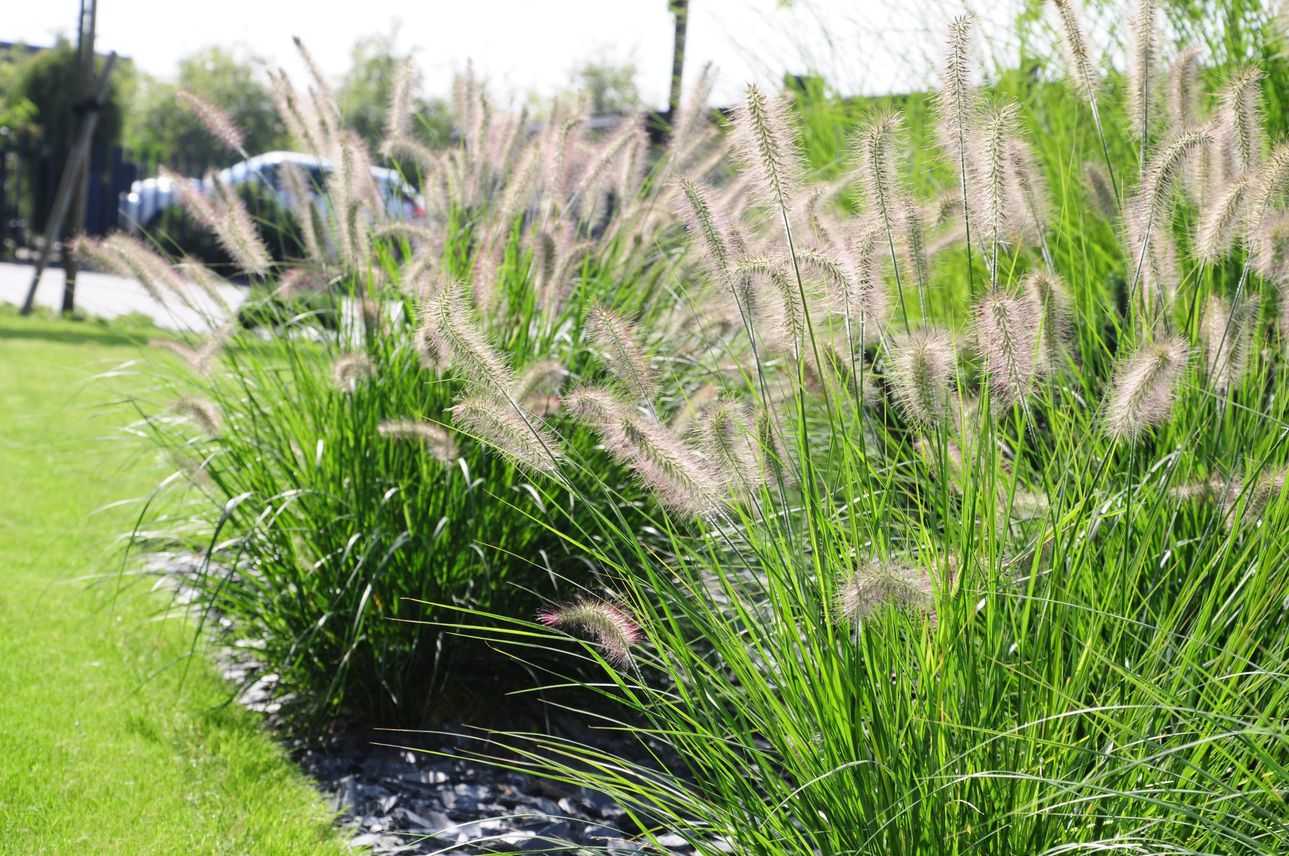 Злак пеннисетум или перистощетинник выращивание из семян посадка и уход сорта с фото и описанием
