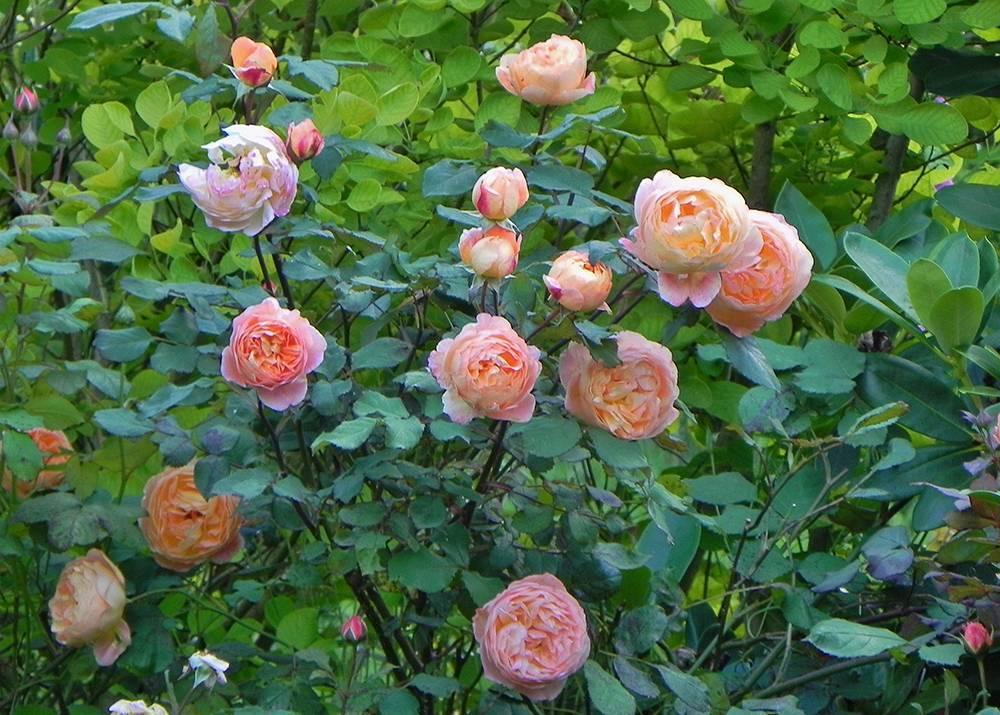 Роза леди эмма гамильтон (lady emma hamilton)