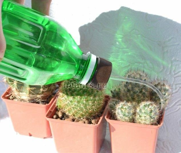 Как правильно поливать кактусы?