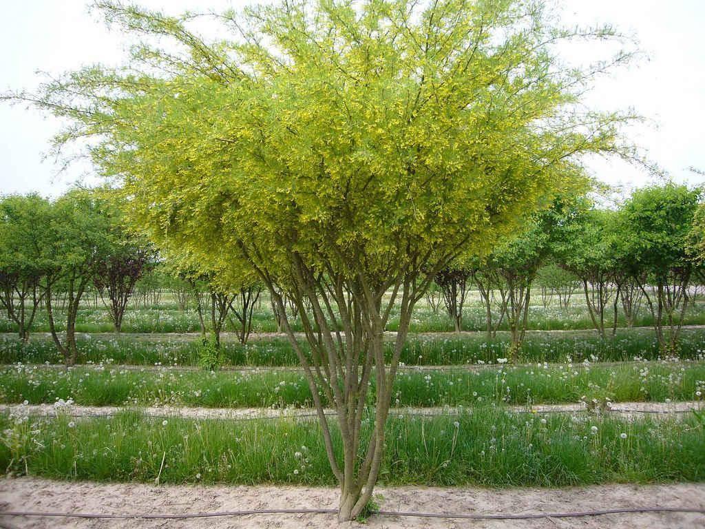 Акация: история, характеристика, описание дерева с фото