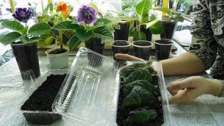 Учимся ухаживать за глоксинией в домашних условиях